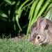 Baby Bunny's dinner time by jyokota