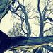 eucalypt wanderings