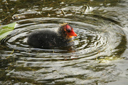 3rd Jul 2020 - Coot Chick