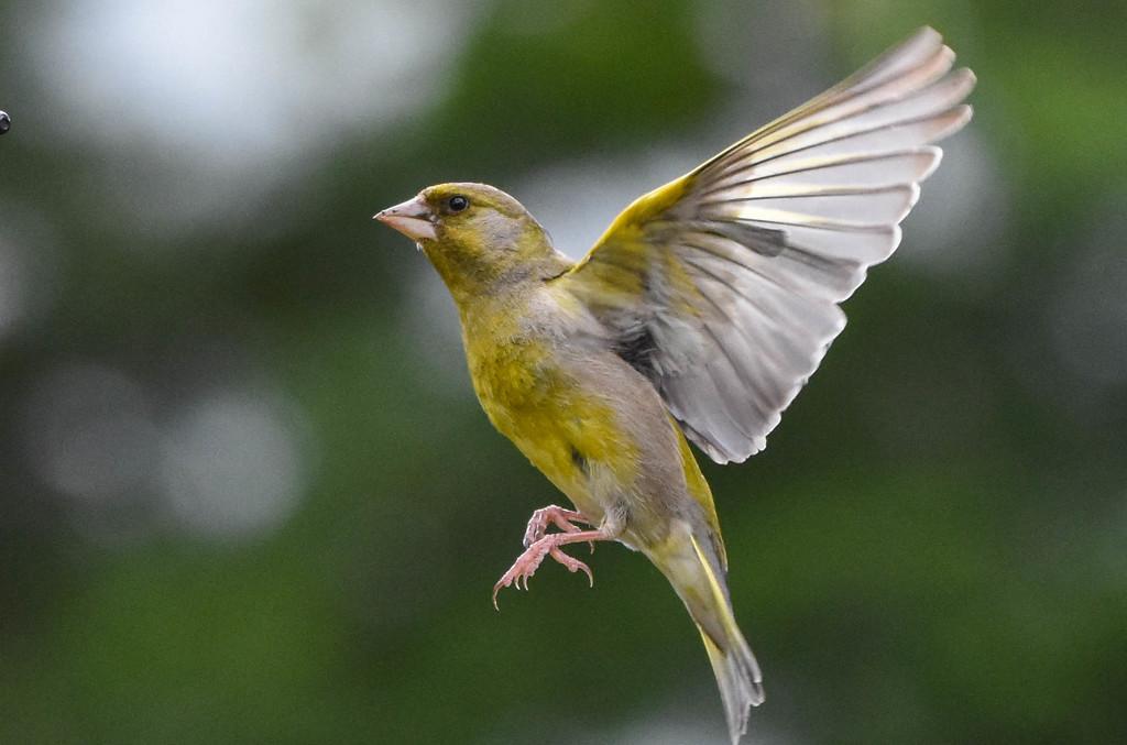 Greenfinch grabshot by stevejacob
