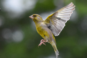 3rd Jul 2020 - Greenfinch grabshot