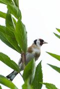 3rd Jul 2020 - Goldfinch