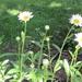 A daisy a day