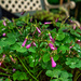 Oxalis...False Shamrock.