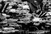 3rd Jul 2020 - Black and White Lillies