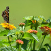 Painted lady Lantana