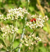3rd Jul 2020 - Meadowsweet mellows whilst insects mate.