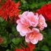 choice of geraniums