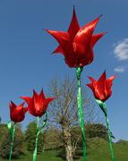 3rd Jul 2020 - 0703 - Tulips