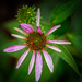 cone flower opening