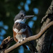 Ms. Belted Kingfisher