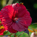 Deep Red Hibiscus