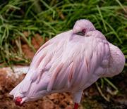3rd Jul 2020 - Flamingo Friday '20 19