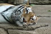 22nd Jun 2020 - Tiger Resting