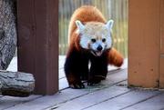 3rd Jul 2020 - Red Panda 2