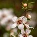 Mānuka flowers