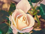 4th Jul 2020 - Last Rose