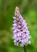 1st Jul 2020 - Marsh orchid