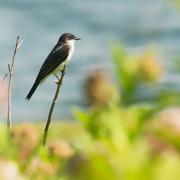 4th Jul 2020 - eastern kingbird