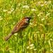 house sparrow in daisy fleabane