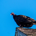 Turkey Vulture again