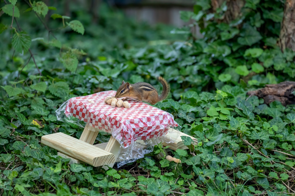 Chipmunk finds the picnic table! by jyokota