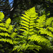 Happy Fern on Kuebler Trail