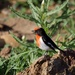 Red Capped Robin P7040609