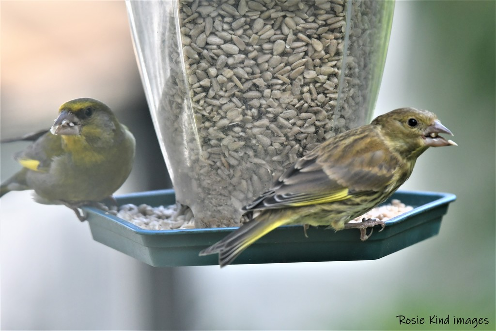 RK3_0388 He brought Mrs Greenfinch with him today by rosiekind