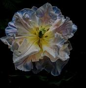 5th Jul 2020 - 0705 - Poppy
