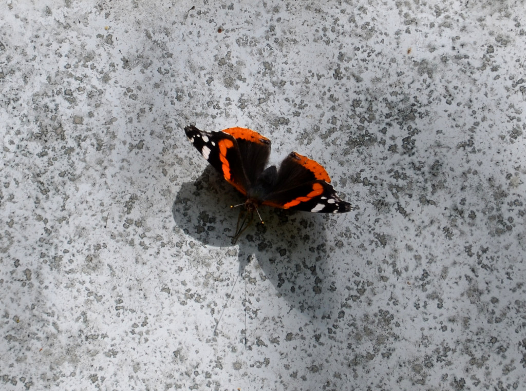 Red Admiral by arkensiel