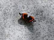 5th Jul 2020 - Red Admiral