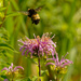 wild bergamot and bumble bee