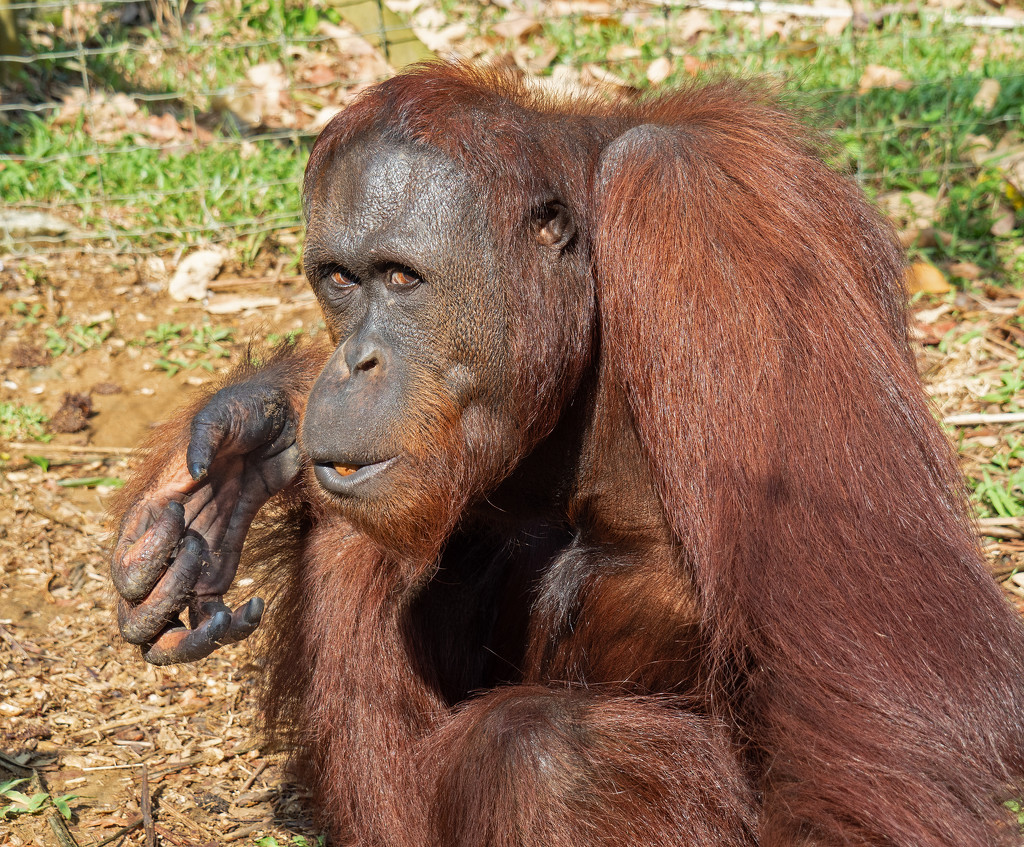 Male Orangutan by ianjb21