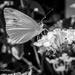 Flowers & Brimstone... Butterfly by elatedpixie
