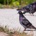 King Pigeon