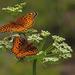 Butterflies on Wildflowers by janeandcharlie