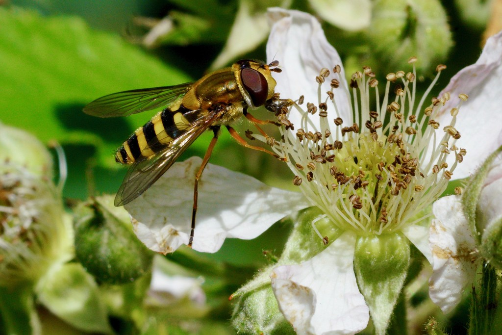 HOVER-FLY ON BRAMBLE by markp