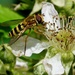HOVER-FLY ON BRAMBLE