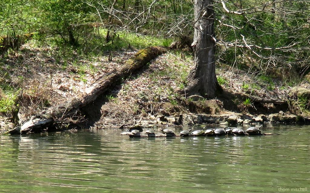 Ten turtles! by rhoing