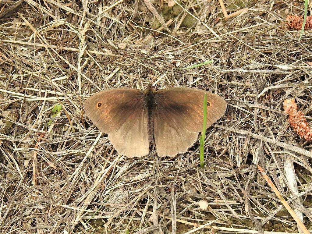 Meadow Brown  by susiemc