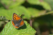 6th Jul 2020 - Small copper butterfly