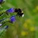 tasty viper's bugloss
