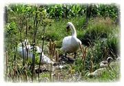7th Jul 2020 - swan family