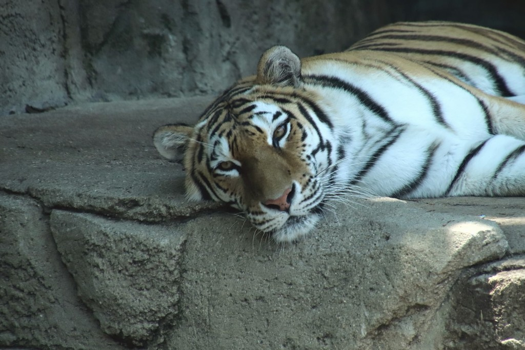 Tiger Relaxing by randy23