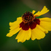 Backyard Wildflower