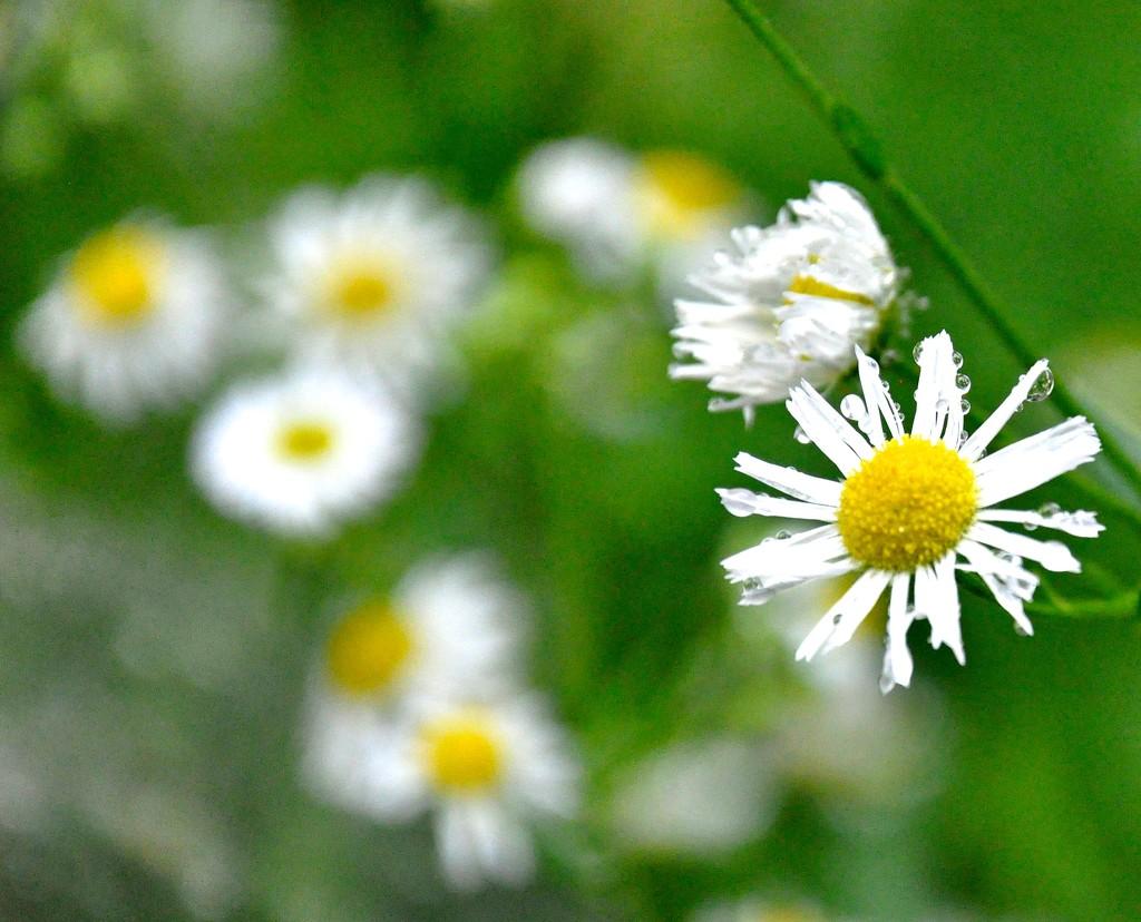 Wildflowers by sailingmusic