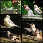 6th Jul 2020 - Sparrows, Finches and Hummingbirds