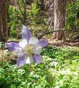 6th Jul 2020 - Single Colorado Blue Columbine