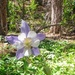 Single Colorado Blue Columbine